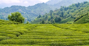 Çay İhracatındaki Artış Hız Kesmiyor